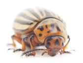 Colorado Beetle — Stock Photo