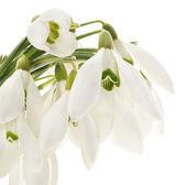 Snowdrops (Galanthus nivalis) on white background — Stock Photo