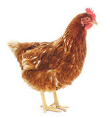 Brown hen — Stock Photo
