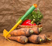 Fresh harvested carrots and rake — Stock Photo