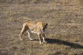 Lioness walking — Stock Photo