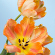 Orange tulips — Foto de Stock