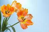 Tulipanes naranjas — Foto de Stock