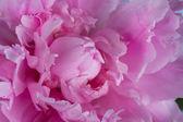 Pink peony petals — Stock Photo
