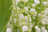 Lily of the valley — Fotografia Stock