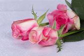 Beautiful rose — Stock Photo