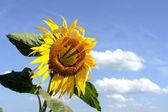 Funny sunflower — Stock Photo