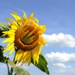 Funny sunflower — Stock Photo