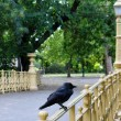 Crow on the bridge — Stock Photo