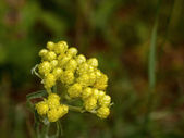Flowers of helichrysum arenarium — Stock Photo