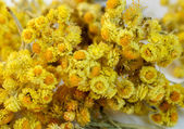 Dried flowers of helichrysum — Stock Photo