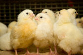 Chickens . Poultry farm — Stock Photo