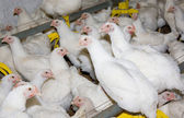 Chickens. Poultry farm — Stock Photo