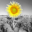 Sunflower on a farmer field - Stock Photo