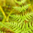 Green Fern Leave — Stock Photo #12642465