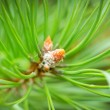 Royalty-Free Stock Photo: Young cones of spruce.