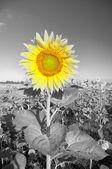 Sunflower on a farmer field — Stock Photo