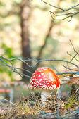 Red mushroom fungi — Stock Photo