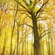 Oak in autumn forest — Stock Photo