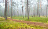 Autumn pine forest — Stock Photo