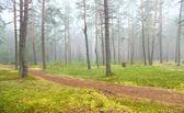 Autumn pine forest — Stock Photo