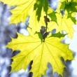 Leaves on maple branches - Foto de Stock