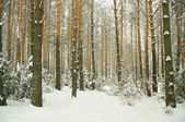 Beautiful winter forest — Stock fotografie