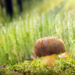 Stock Photo: Brown mushroom