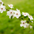 Blooms tree branch in spring — Stock Photo