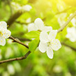 Blossoming trees of an apple-tree — Stock Photo
