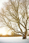 Tree in winter season. — Stock Photo