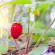 Wild strawberry berry growing in natural environment — Stock Photo