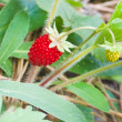 Wild strawberry berry — Stock Photo