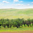 Stock Photo: Apple trees on meadows