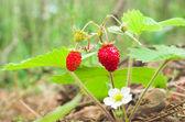 Fresa salvaje creciendo en entorno natural. — Foto de Stock