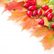 Rose hip fruit with autumn leafs, — Foto Stock