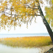 Стоковое фото: Birch on the bank of wood lake