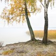 Birch on the bank of wood lake. — Stock Photo