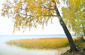 Birch on the bank of wood lake — Stock Photo