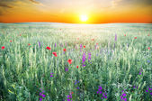 Spring meadow of violet flower — Stock Photo
