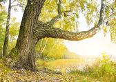Birch on the bank of wood lake. — Stock Photo