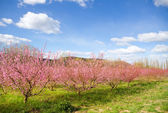 Blossoming spring trees — Stock Photo