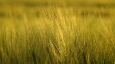 Fresh Wheat Grass for Juicing. — Stock Video