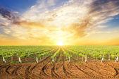 Krajobraz lato winnicy — Zdjęcie stockowe