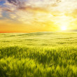 Meadow of wheat on sunset. — Stock Photo #48775423