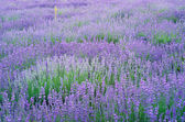 Lavender flowers field. — Stock Photo
