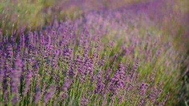 ラベンダーの牧草地. — ストックビデオ
