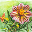 Dahlia flower, watercolor painting — Stock Photo
