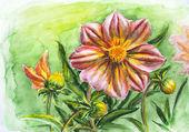 Fiore dalia, acquerello dipinto — Foto Stock