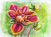 ντάλια λουλούδι που ανθίζει, ακουαρέλα, ζωγραφική — Φωτογραφία Αρχείου
